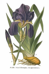 Orris Root Iris Germanica Benefits