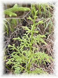 Lycopodium clavatum,