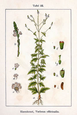 Verbena hastata, V. officinalis