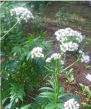 Angelica root benefits