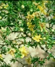 Chaparral Herb Benefits