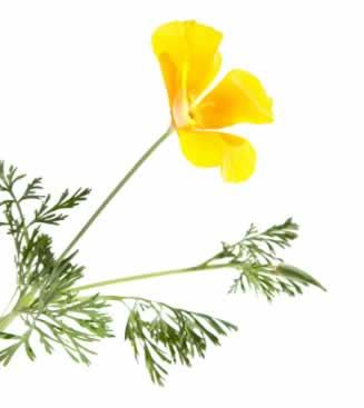 California poppy herb extract benefits california poppy eschscholzia californica mightylinksfo Choice Image