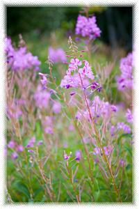 Fireweed Epilobium Angustifolium