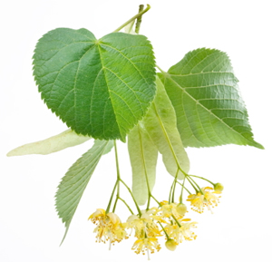 linden leaves with flowers