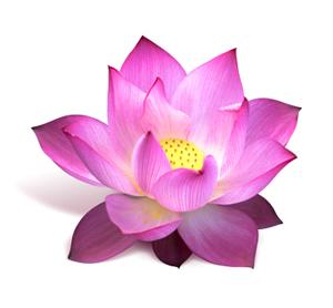 Lotus leaf benefits lotus nelumbo nucifera mightylinksfo