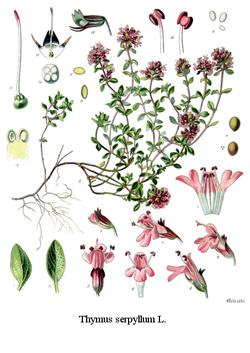 Liste de plantes pour les soins Koeh-138-thymewild