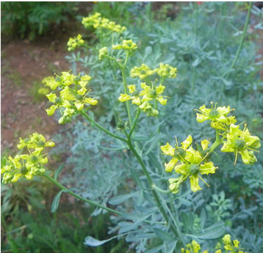 Ruta Graveolens Seeds