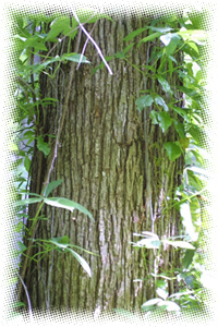 Elm, Slippery , Red Elm, Moose Elm, Indian Elm. Botanical Name. Ulmus fulva