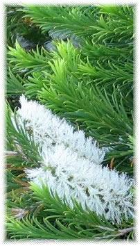 wiki Melaleuca armillaris Petua Menghilangkan Jerawat dan Jeragat di Muka